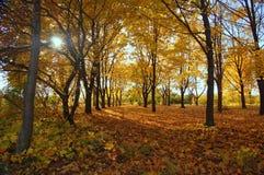 Autumn wood. Sunset in the autumn wood Stock Image