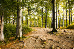 Autumn wood (beechen) Royalty Free Stock Photography