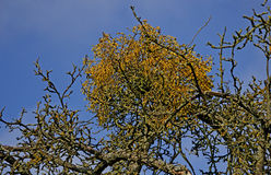 Mistletoe in a tree Stock Photography