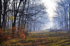 Autumn wood in the morning Royalty Free Stock Photo