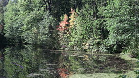 The autumn wood is reflected in the river with floating ducks. Autumn wood is reflected in the river with floating ducks stock video
