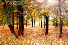 Autumn wood with sun rays Royalty Free Stock Photography