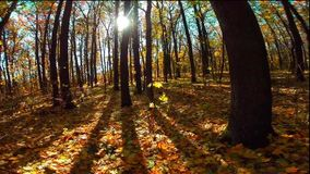 Autumn wood with sun rays stock video footage