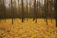 The autumn wood Royalty Free Stock Photo