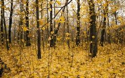 The autumn wood Royalty Free Stock Photos