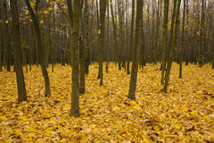 The autumn wood Royalty Free Stock Images