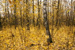 The autumn wood Royalty Free Stock Photography