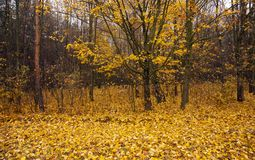 The autumn wood Royalty Free Stock Image