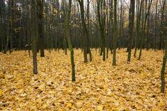 The autumn wood Royalty Free Stock Photo
