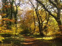 Autumn woodland in England. Autumn in an English woodland Stock Image