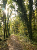 Autumn in woodland. Woodland footpath in autumn looking into the sun Royalty Free Stock Image