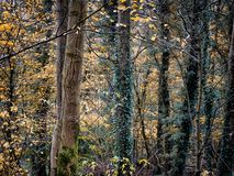 Autumn woodland with ivy covered trees and bark textures Stock Images