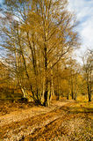 Autumn Woodland Path Royalty Free Stock Image