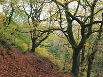 Autumn woodland on a steep hill with fallen leaves and forest pathway Royalty Free Stock Image