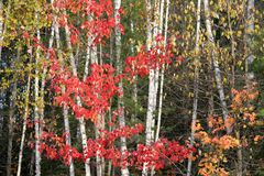 Autumn woods. With birch and maples Royalty Free Stock Photo