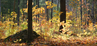 Autumn woods. With contrasing light patterns Royalty Free Stock Images