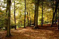 Autumn Woods. Autumn leaves in an English wood Royalty Free Stock Image