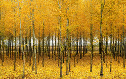 In autumn the woods. Autumn, beautiful woods became golden Royalty Free Stock Images