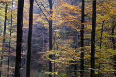 Autumn woods. A temperate deciduous forest as seen in autumn Royalty Free Stock Photo