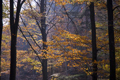 Autumn woods. A temperate deciduous forest as seen in autumn Royalty Free Stock Image