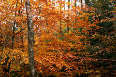 Autumn woods. Beech tree in fall in woods Royalty Free Stock Photos