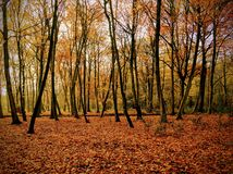 Autumn woods. Colourful leaves on a forest floor in autumn woodland
