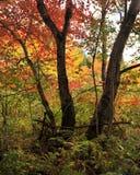 Autumn Woods en Bomen Stock Afbeelding