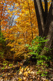Autumn in the woods. Royalty Free Stock Image