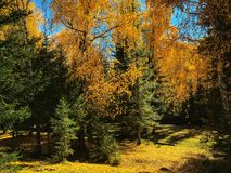 Free Autumn Woods In Baihaba Village In Xinjiang, China Stock Image - 128039051