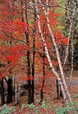 Autumn Woods in Rib Mountain State Park. White birches leaning into blazing red maple woods in Rib Mountain State Park, Wisconsin, with road and more forest in Royalty Free Stock Photography