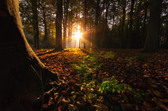 Autumn Woods. The autumn sun Shines through the forest Royalty Free Stock Images