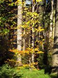 Autumn in the woods. A tree with yellow leaves among some coniferous trees in the wood Stock Images