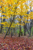Autumn in the woods with yellow trees and fallen leaves Stock Image