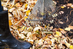 Cleaning of autumn leaves. Rake collected fallen yellow leaves Stock Images