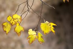 Autumn yello leaves on branch trees stock images