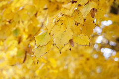 Autumn yellow backgound Stock Photography