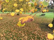Autumn. Yellow autumn is beauty in Melbourne Royalty Free Stock Photos