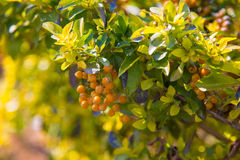 Autumn yellow berries Royalty Free Stock Photos