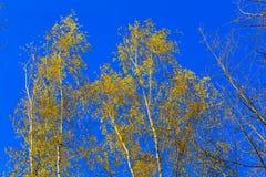 Autumn Yellow Birch Leaves en ramas contra el cielo Fotografía de archivo