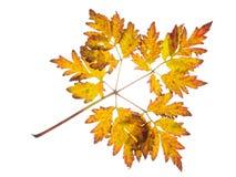 Autumn yellow-brown leaf Stock Image