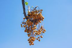 Autumn. Yellow cluster of fruit  of Chinaberry trees against blue sky. Autumn. Yellow cluster of fruit  of Chinaberry trees  Melia azedarach  against blue sky royalty free stock photos