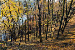 Autumn in yellow deciduous forest Stock Photos