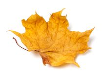Autumn yellow dry maple leaf Stock Photos