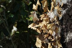 Autumn yellow end green leaves in the sun stock photography