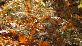 Autumn yellow fallen leaves on a ground in the forest. Autumn yellow fallen leaves on the ground in the forest stock video footage