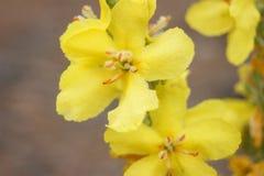 Autumn yellow flower Royalty Free Stock Photos
