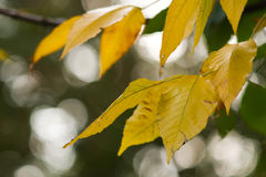 Autumn yellow foliage Royalty Free Stock Images