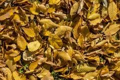Autumn yellow foliage Royalty Free Stock Images