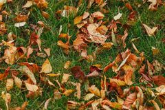 Autumn yellow foliage on green grass in autumnal park royalty free stock images