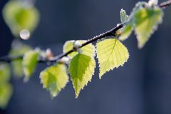 Autumn yellow foliage with morning frost Stock Images